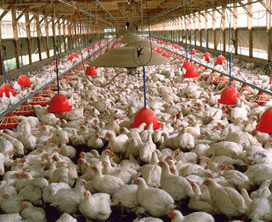 Poultry Supplies: How Much Does it Cost To Start Chicken Farming?   Poultry Supply   Scoop.it