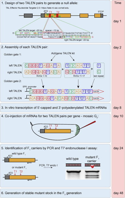 A simple TALEN-based protocol for efficient genome-editing in Drosophila   molecular biology   Scoop.it