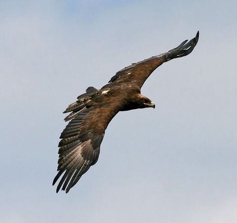 Conflict over Golden Eagle death | News | eagles | Scoop.it