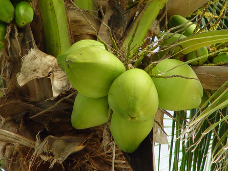 Coconut juice as natural Viagra - by Paul Simms - Helium | The Healthy & Green Consumer | Scoop.it
