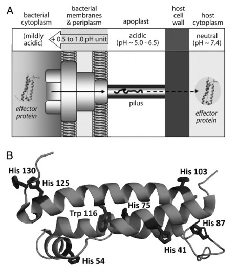 Elucidation of a pH-folding switch in the Pseudomonas syringae effector protein AvrPto | Plants&Bacteria | Scoop.it
