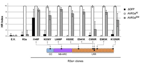 MPMI: Single amino acid mutations in the potato immune receptor R3a expand response to Phytophthora effectors (2014) | plant-microbe interactions | Scoop.it