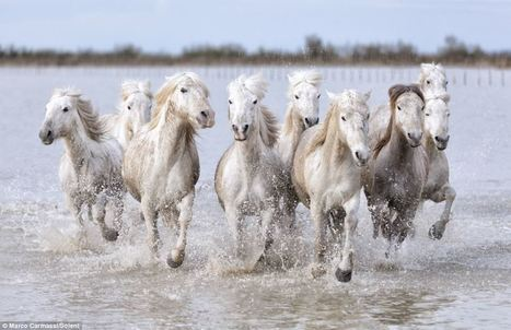 The real-life unicorns: Magical shots of wild white horses racing through French marshes at Camargue | Wild Life#1 | Scoop.it