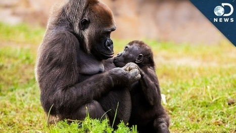 DNews Video: Animal Empathy: Gorilla Cries Over Robin Williams | Protect our oceans | Scoop.it