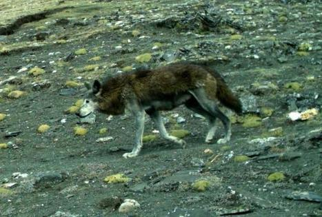 Wildlife: Biologists track genetics of elusive Himalayan wolves | Farming, Forests, Water, Fishing and Environment | Scoop.it