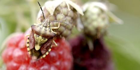 Jardipartage : Ces petites bêtes… mangent nos framboises ! | Les colocs du jardin | Scoop.it