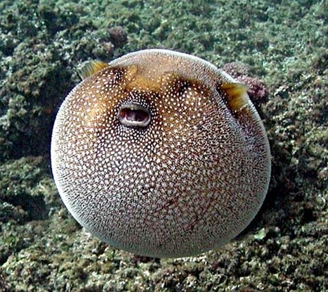 Pufferfish | All about water, the oceans, environmental issues | Scoop.it