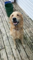 """HAPPY ENDING: Home, Safe n' Sound: Lost Dog: Falmouth, Hants Co., NS — Golden Retriever, Male, 3.5 YRS — """"MILO""""   Nova Scotia Hunting   Scoop.it"""