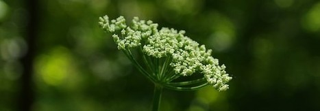 4 Plants For Natural Migraine Relief   Headaches   Scoop.it