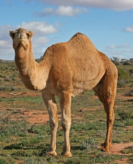New Middle Eastern Virus Found in Camels | MERS-CoV | Scoop.it
