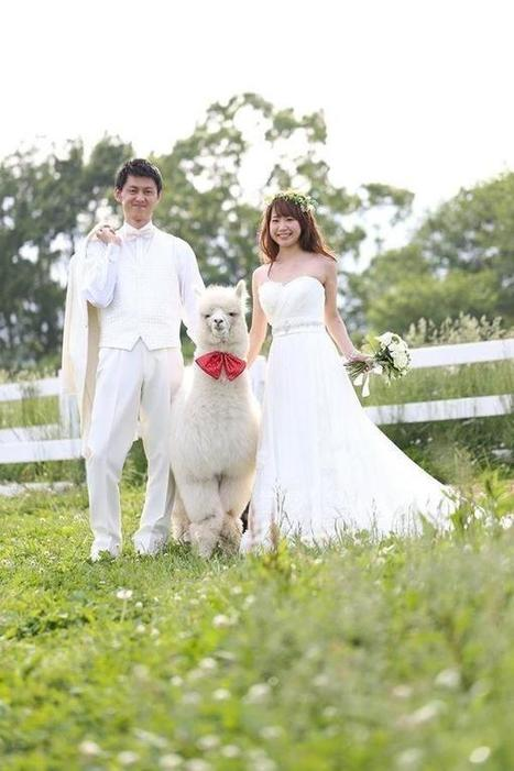 Japanese Hotel Lets You Rent an Alpaca as a Witness at Your Wedding | Strange days indeed... | Scoop.it