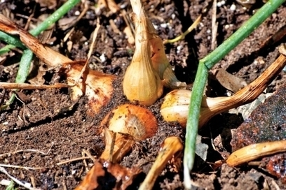 All You Need to Know About Potato Onions (And How to Cook Them) - Hudson Valley Magazine - October 2015 - Poughkeepsie, NY | Teacher Tools and Tips | Scoop.it