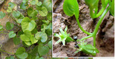 Video: Sundews Snap to Nab Insect Prey - ScienceNOW | Botany Whimsy | Scoop.it