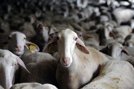 Un éleveur pas moutonnier | ECONOMIES LOCALES VIVANTES | Scoop.it
