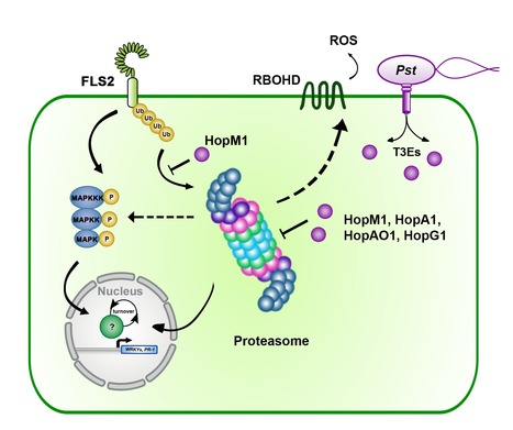 The proteasome acts as a hub for plant immunity and is targeted by Pseudomonas type-III effectors | Emerging Research in Plant Cell Biology | Scoop.it
