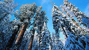 Les plus vieux et plus grands arbres de la planète se meurent | Notre société actuelle | Scoop.it