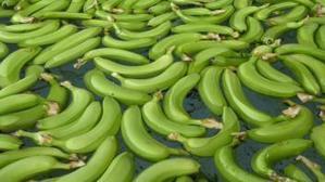 Le Forum mondial de la banane démarre des webinaires sur l'industrie de la banane | Agroalimentaire des Pays du Sud | Scoop.it