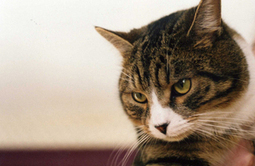 Cases of TB in domestic cats and cat-to-human transmission - GOV.UK | Medical Microbiology & Infectious Disease | Scoop.it