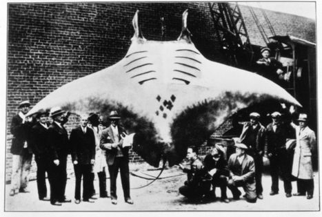 (Manta rays (manta birostris) are the largest...) | climate change | Scoop.it