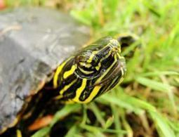Painted turtles set to become all-female | Climate change challenges | Scoop.it