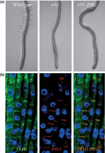 New Phytologist: Pointing PINs in the right directions: a potassium transporter is required for the polar localization of auxin efflux carriers | Plant Biology Teaching Resources (Higher Education) | Scoop.it