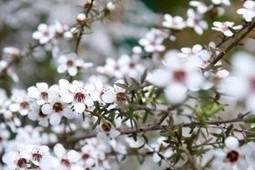 Huile essentielle niaouli | Guide aromathérapie | Scoop.it