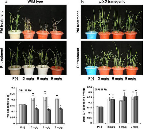 Nature: Scientific reports : The development of a phosphite-mediated fertilization and weed control system for rice | Plant phosphate nutrition | Scoop.it