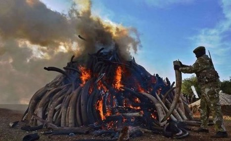 Kenya Prepares to Burn Largest Ivory Stockpile   World News   Scoop.it