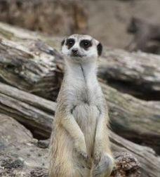 Animals for Kids: Meerkat   Meerkats   Scoop.it