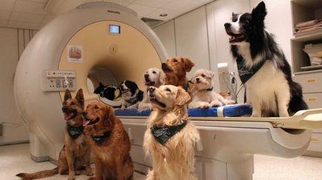 Los perros entienden lo que decimos y cómo lo decimos, según investigadores, pero ¿cómo lo hacen? - BBC Mundo | Ingeniería Biomédica | Scoop.it