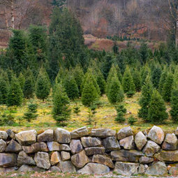 Healthy Holiday: Real Christmas Trees: Organic Gardening | Gift Baskets | Scoop.it