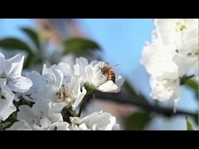 Why Are Bees Dying Off? | Bee Colony Collapse Disorder | 100 Acre Wood | Scoop.it