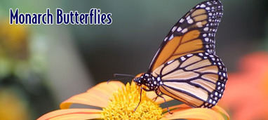 Pismo Butterflies - California State Parks of the San Luis Obispo Coast | Personal | Scoop.it
