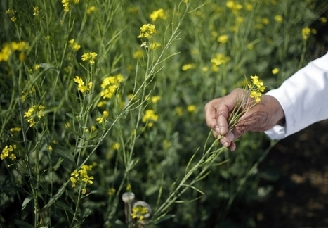 India eases stance on GM crop trials | Nature | Development, agriculture, hunger, malnutrition | Scoop.it