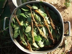 Scientist Believes Psychedelic Plant Medicine Ayahuasca Can Cure Cancer   Ayahuasca  アヤワスカ   Scoop.it
