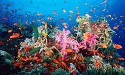 Scientists say warming seas could kill off coral reefs in Pacific, Atlantic oceans   Sustainable Futures   Scoop.it