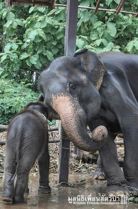Touching Photos Show An Elephant Family That Was Nearly Torn Apart | Nature Animals humankind | Scoop.it
