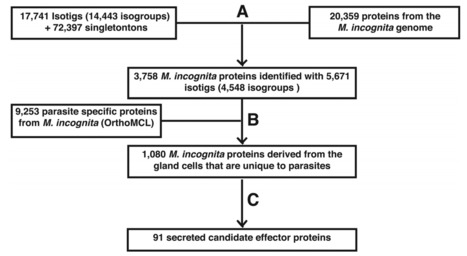 Mining Novel Effector Proteins from the Esophageal Gland Cells of Meloidogyne incognita   MycorWeb Plant-Microbe Interactions   Scoop.it