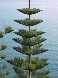 Araucaria, Paulownia e Davidia: piante poco conosciute di rara ... | Gli alberi nei giardini | Scoop.it