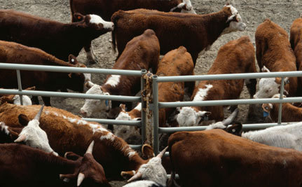 BC Law Could Hide Animal Disease Outbreaks | Food issues | Scoop.it