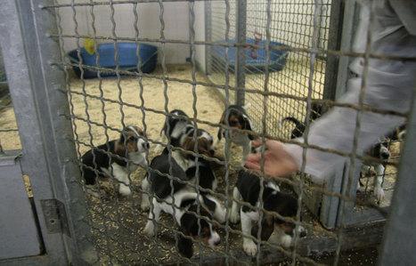 Ces chiens qui meurent pour nous - leJDD.fr   Beagle   Scoop.it