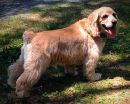"HAPPY ENDING: Home, Safe n' Sound: Lost Dog: Fall River, Halifax Co., NS — Cocker Spaniel, Male, 7 yrs — ""Alfie"" 
