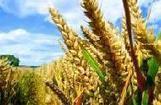 Les OGM tolérants aux herbicides sont déjà obsolètes ? | Toxique, soyons vigilant ! | Scoop.it