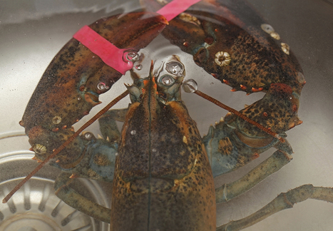 6 incredible facts that will change the way you think about lobsters   All about water, the oceans, environmental issues   Scoop.it