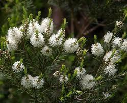 L'huile essentielle de tea tree : magique ! | Huiles essentielles HE | Scoop.it