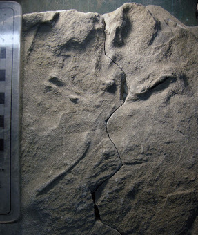 Oldest-known fossil bird tracks found in Australia | Australian Archaeology | Scoop.it