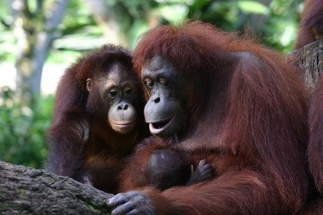 DEFORESTATION: Orangutans Are Starving In Borneo -- And Palm Oil Is To Blame   > Environmental   Scoop.it