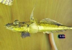 Top 10 Fish When You Snorkel BVI | BVI Sailing | Scoop.it