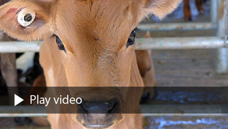 The Dairy Industry // Animals Australia | Nature Animals humankind | Scoop.it