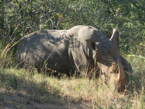 IPS – In Vietnam, Rhino Horns Worth Their Weight in Gold   Inter Press Service   Animal Cruelty   Scoop.it